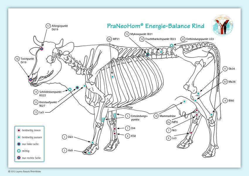 Akupunktur-Tafel Rind/Kuh von Bassols Rheinfelder, Layena: PraNeoHom®
