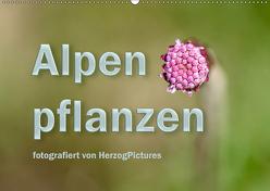Alpenpflanzen fotografiert von HerzogPictures (Wandkalender 2019 DIN A2 quer) von HerzogPictures