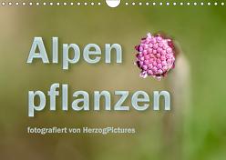 Alpenpflanzen fotografiert von HerzogPictures (Wandkalender 2019 DIN A4 quer) von HerzogPictures