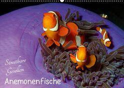 Anemonenfische – Streitbare Gesellen (Wandkalender 2019 DIN A2 quer) von Niemann,  Ute