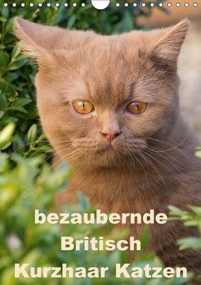 bezaubernde Britisch Kurzhaar Katzen (Wandkalender 2018 DIN A4 hoch) von Verena Scholze,  Fotodesign