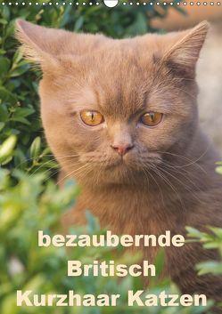 bezaubernde Britisch Kurzhaar Katzen (Wandkalender 2019 DIN A3 hoch) von Verena Scholze,  Fotodesign