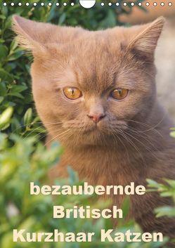 bezaubernde Britisch Kurzhaar Katzen (Wandkalender 2019 DIN A4 hoch) von Verena Scholze,  Fotodesign