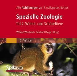 Bild-DVD, Westheide/Rieger (Hrsg), Spezielle Zoologie, Teil 2: Wirbel- oder Schädeltiere von Rieger,  Gunde, Rieger,  Reinhard M., Westheide,  Wilfried