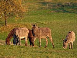 CALVENDO Puzzle Esel und Pferd beim Grasen 2000 Teile Lege-Größe 90 x 67 cm Foto-Puzzle Bild von E. Ehmke