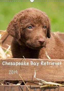 Chesapeake Bay Retriever 2019 (Wandkalender 2019 DIN A3 hoch) von Vika-Foto