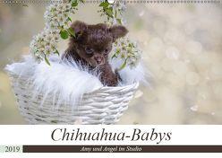 Chihuahua-Babys – Amy und Angel im Studio (Wandkalender 2019 DIN A2 quer) von Teßen,  Sonja
