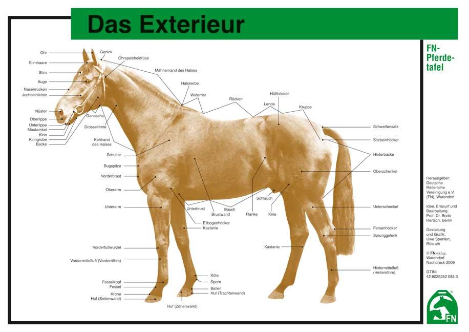 Fantastisch Pferd Muskeln Anatomie Zeitgenössisch - Menschliche ...