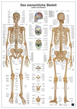 Das menschliche Skelett von Busse,  Andreas, Oberdieck,  Christoph