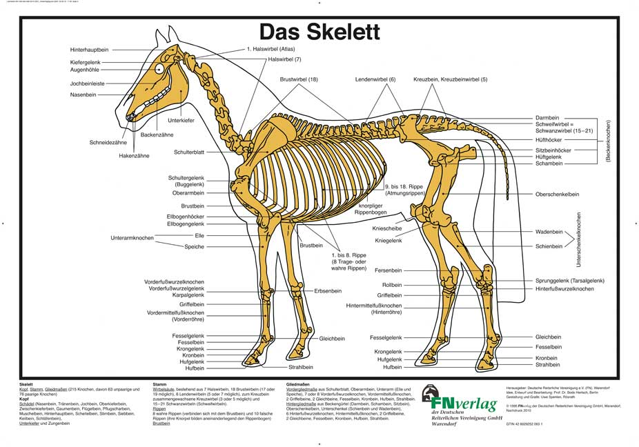Das Skelett von Hertsch, Bodo, Spenlen, Uwe: FN-Lehrtafel