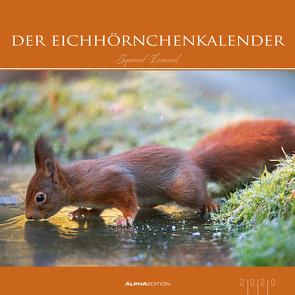 Der Eichhörnchenkalender 2020 – Eichhörnchen – Squirrels – Bildkalender (33 x 33) – Tierkalender – Wandkalender von ALPHA EDITION