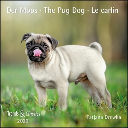 Der Mops The Pug Dog 2020 – Broschürenkalender – Wandkalender – mit herausnehmbarem Poster – Format 30 x 30 cm von Drewka,  Tatjana, DUMONT Kalenderverlag