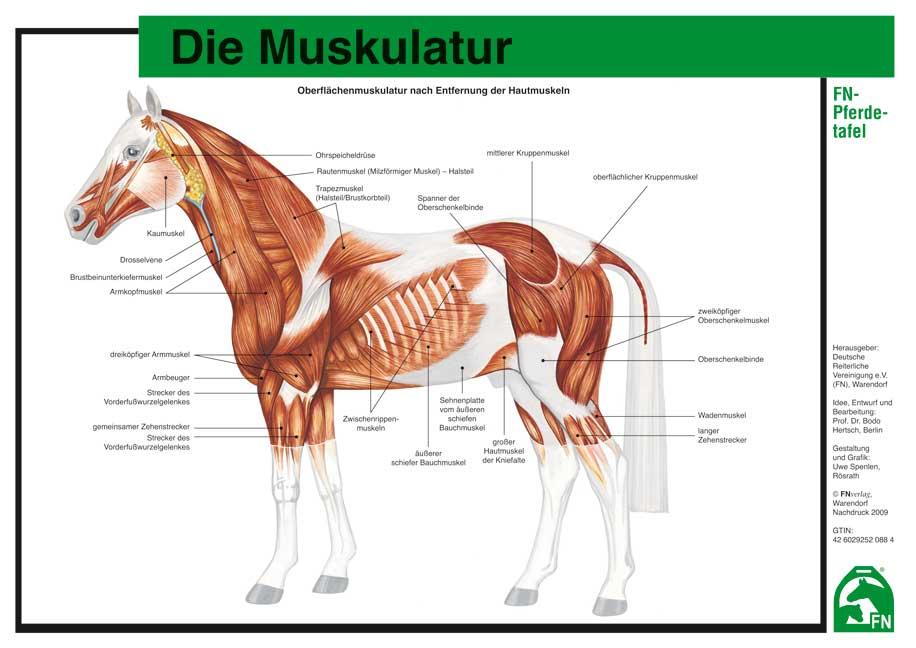 Charmant Pferd Anatomie Zeichnung Ideen - Menschliche Anatomie ...