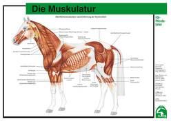 Die Muskulatur von Hertsch,  Bodo, Spenlen,  Uwe