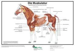 Die Muskulatur von Deutsche Reiterliche Vereinigung e.V., Hertsch,  Bodo, Spenlen,  Uwe