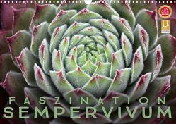 Faszination Sempervivum (Wandkalender 2021 DIN A3 quer) von Cross,  Martina