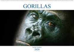 Gorillas – In der Freiheit (Wandkalender 2020 DIN A2 quer) von Robert,  Boris