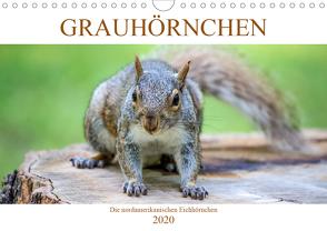Grauhörnchen. Die nordamerikanischen Eichhörnchen. (Wandkalender 2020 DIN A4 quer) von pixs:sell@fotolia, Stock,  pixs:sell@Adobe