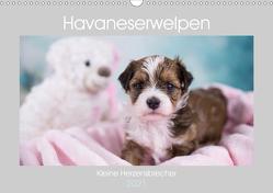 Havaneserwelpen – Kleine Herzensbrecher (Wandkalender 2021 DIN A3 quer) von Tauschnik,  Nicole