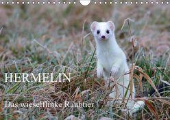 Hermelin – das wieselflinke Raubtier (Wandkalender 2019 DIN A4 quer) von Bachmeier,  Günter