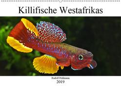 Killifische Westafrikas (Wandkalender 2019 DIN A2 quer) von Pohlmann,  Rudolf