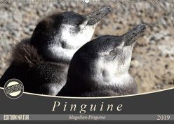 Magellan-Pinguine (Wandkalender 2019 DIN A2 quer) von Flori0