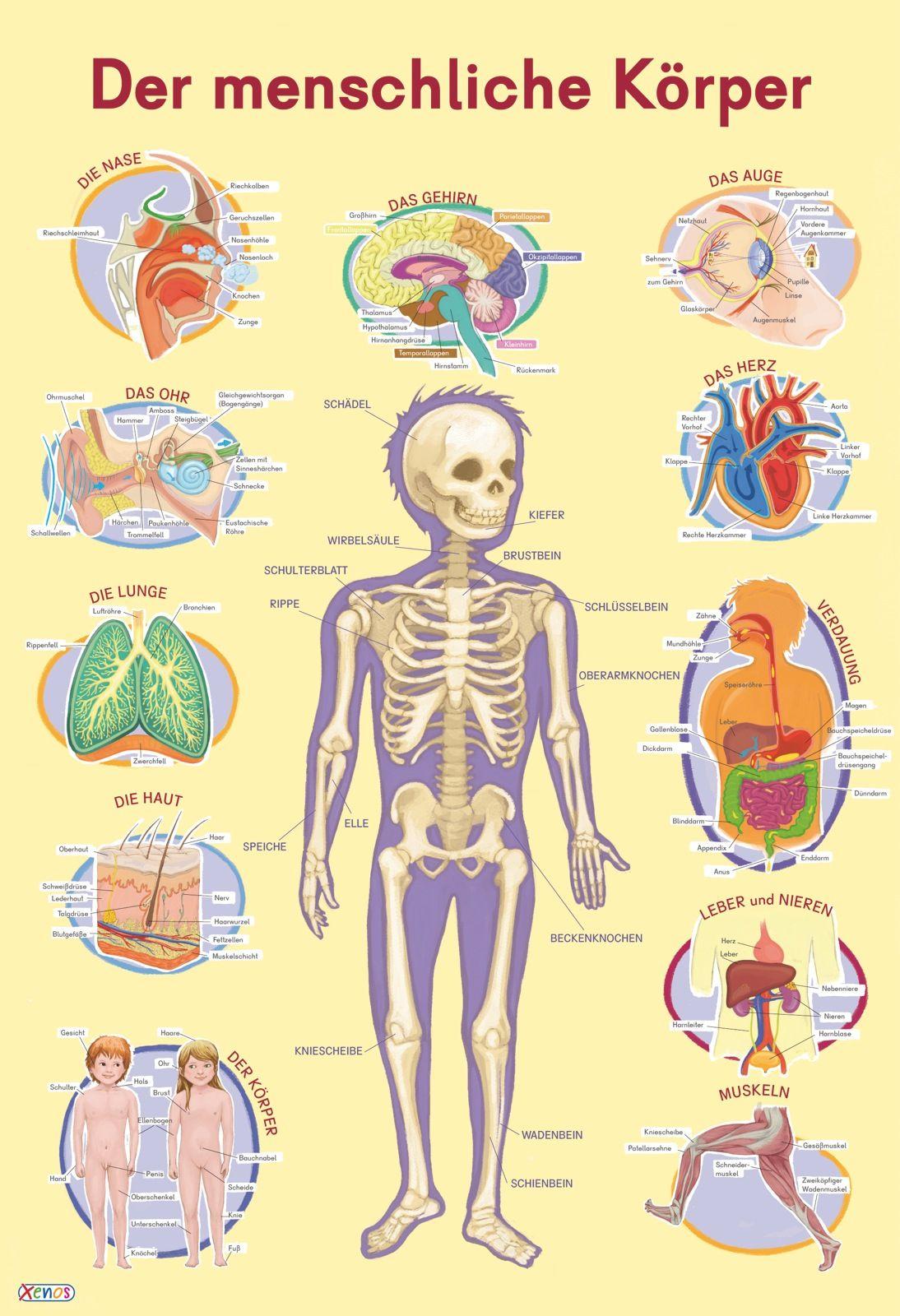 Mein Lernposter: VE 5 Der menschliche Körper von :