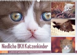 Niedliche BKH Katzenkinder (Wandkalender 2020 DIN A3 quer) von Bürger,  Janina