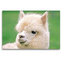 Premium Textil-Leinwand 120 x 80 cm Quer-Format Alpaka: Flauschig und weich – Wieso macht mit mir eigentlich keiner Werbung? | Wandbild, HD-Bild auf Keilrahmen, Fertigbild auf hochwertigem Vlies, Leinwanddruck von CALVENDO