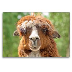 Premium Textil-Leinwand 120 x 80 cm Quer-Format Alpaka: Here comes the sun, didudubidum – Klar kenne ich die Beatles, wieso? | Wandbild, HD-Bild auf Keilrahmen, Fertigbild auf hochwertigem Vlies, Leinwanddruck von CALVENDO