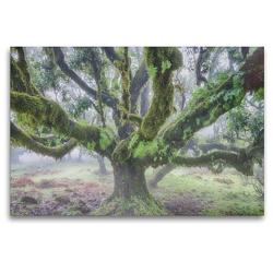Premium Textil-Leinwand 120 x 80 cm Quer-Format Alter Lorbeerbaum im Nebel | Wandbild, HD-Bild auf Keilrahmen, Fertigbild auf hochwertigem Vlies, Leinwanddruck von Juergen Schonnop
