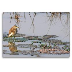 Premium Textil-Leinwand 120 x 80 cm Quer-Format Bacchusreiher – Ardeola bacchus | Wandbild, HD-Bild auf Keilrahmen, Fertigbild auf hochwertigem Vlies, Leinwanddruck von Benny Trapp