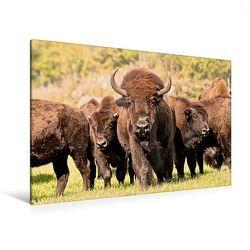 Premium Textil-Leinwand 120 x 80 cm Quer-Format Bisons in Manitoba | Wandbild, HD-Bild auf Keilrahmen, Fertigbild auf hochwertigem Vlies, Leinwanddruck von Marianne Drews