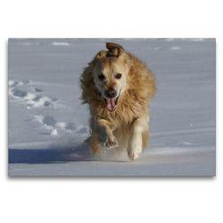 Premium Textil-Leinwand 120 x 80 cm Quer-Format Golden Retriever im Schnee | Wandbild, HD-Bild auf Keilrahmen, Fertigbild auf hochwertigem Vlies, Leinwanddruck von Kattobello