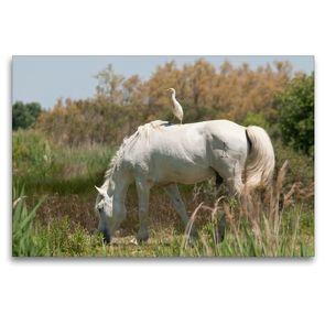Premium Textil-Leinwand 120 x 80 cm Quer-Format Halbwild lebendes Camargue-Pferd mit Reiher   Wandbild, HD-Bild auf Keilrahmen, Fertigbild auf hochwertigem Vlies, Leinwanddruck von Meike Bölts