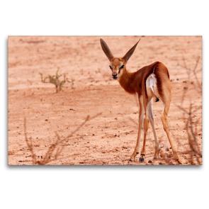 Premium Textil-Leinwand 120 x 80 cm Quer-Format Junges Impala in der Etosha Pfanne, Afrika   Wandbild, HD-Bild auf Keilrahmen, Fertigbild auf hochwertigem Vlies, Leinwanddruck von Birgit Scharnhorst