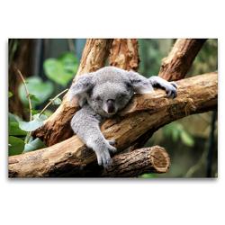 Premium Textil-Leinwand 120 x 80 cm Quer-Format Koala Bär auf einem Baum in Australien | Wandbild, HD-Bild auf Keilrahmen, Fertigbild auf hochwertigem Vlies, Leinwanddruck von Christian Colista
