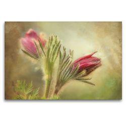 Premium Textil-Leinwand 120 x 80 cm Quer-Format Küchenschelle   Wandbild, HD-Bild auf Keilrahmen, Fertigbild auf hochwertigem Vlies, Leinwanddruck von Angelika Beuck