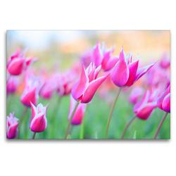 Premium Textil-Leinwand 120 x 80 cm Quer-Format Lilienblütige Tulpen   Wandbild, HD-Bild auf Keilrahmen, Fertigbild auf hochwertigem Vlies, Leinwanddruck von Rose Hurley