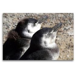 Premium Textil-Leinwand 120 x 80 cm Quer-Format Magellan-Pinguine   Wandbild, HD-Bild auf Keilrahmen, Fertigbild auf hochwertigem Vlies, Leinwanddruck von Flori0