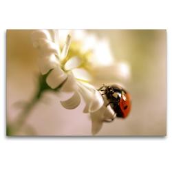 Premium Textil-Leinwand 120 x 80 cm Quer-Format Marienkäfer an weißer Blüte | Wandbild, HD-Bild auf Keilrahmen, Fertigbild auf hochwertigem Vlies, Leinwanddruck von Ulrike Adam