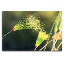 Premium Textil-Leinwand 120 x 80 cm Quer-Format Papyrusgras, Okavango-Delta, Botswana | Wandbild, HD-Bild auf Keilrahmen, Fertigbild auf hochwertigem Vlies, Leinwanddruck von Birgit Scharnhorst