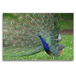 Premium Textil-Leinwand 120 x 80 cm Quer-Format Pfauen Rad | Wandbild, HD-Bild auf Keilrahmen, Fertigbild auf hochwertigem Vlies, Leinwanddruck von Kattobello