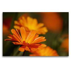 Premium Textil-Leinwand 120 x 80 cm Quer-Format Ringelblumen | Wandbild, HD-Bild auf Keilrahmen, Fertigbild auf hochwertigem Vlies, Leinwanddruck von Bianca Schumann