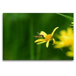 Premium Textil-Leinwand 120 x 80 cm Quer-Format Schwebfliege auf gelber Blüte | Wandbild, HD-Bild auf Keilrahmen, Fertigbild auf hochwertigem Vlies, Leinwanddruck von Marlise Gaudig