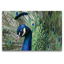 Premium Textil-Leinwand 120 x 80 cm Quer-Format Stolzer Pfau im Federkleid | Wandbild, HD-Bild auf Keilrahmen, Fertigbild auf hochwertigem Vlies, Leinwanddruck von Schwan