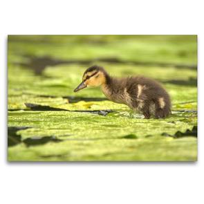 Premium Textil-Leinwand 120 x 80 cm Quer-Format Süße Ente | Wandbild, HD-Bild auf Keilrahmen, Fertigbild auf hochwertigem Vlies, Leinwanddruck von Kevin Andreas Lederle