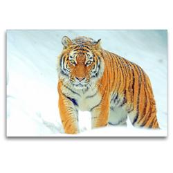 Premium Textil-Leinwand 120 x 80 cm Quer-Format Tiger. Ein Prachtkerl im Winter | Wandbild, HD-Bild auf Keilrahmen, Fertigbild auf hochwertigem Vlies, Leinwanddruck von Rose Hurley