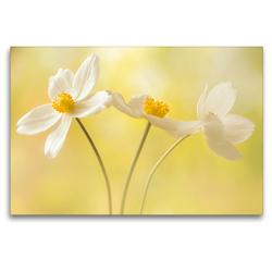Premium Textil-Leinwand 120 x 80 cm Quer-Format Weiße Blumen – Anemonen   Wandbild, HD-Bild auf Keilrahmen, Fertigbild auf hochwertigem Vlies, Leinwanddruck von Ulrike Adam