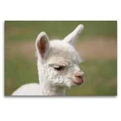 Premium Textil-Leinwand 120 x 80 cm Quer-Format Weißes Alpaka Fohlen auf gerahmter Leinwand   Wandbild, HD-Bild auf Keilrahmen, Fertigbild auf hochwertigem Vlies, Leinwanddruck von Bianca Mentil